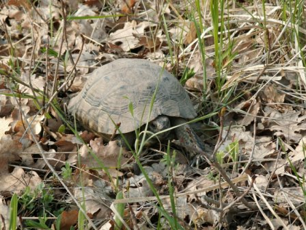 Babadag Forest in spring – common tortoise (Testudo graeca)